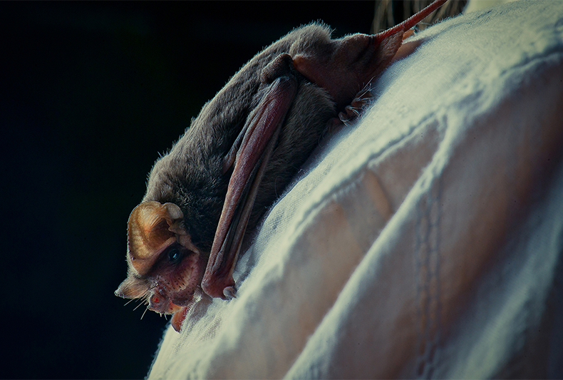 The Intersection of Disease and Bats